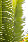 Close up of some palm leaves Stock Images