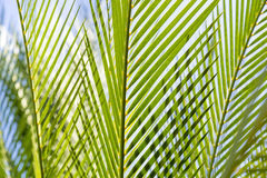 Close up of some palm tree leaves. With blue sky stock image