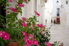 Close Up of Some Pink Flowers on Blur Background. Locorotondo in. Summer Time, Italy stock image
