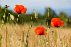 Close up of some poppy flowers in a field of wheat. In Tuscany Royalty Free Stock Images