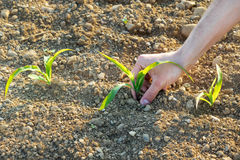 Close-up of some small corn plants from organic farming with farm. Er's hand in spring Stock Photo