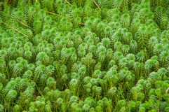 Close up of some typical plants in the beautiful Yahuarcocha lake in Ecuador.  Royalty Free Stock Images