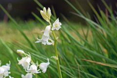 Close up of some unusal white bluebells growing in the green grass. Close up of some pretty white coloured blue bells growing in the green grass in England stock photos