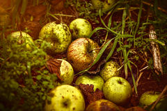 Close up of some windfalls apples. Laying in the dirt Royalty Free Stock Image