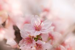 Close-up of Someiyoshino Cherry Blossom Sakura with blur background in spring. royalty free stock images