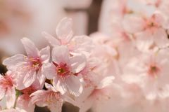 Close-up of Someiyoshino Cherry Blossom Sakura with blur background in spring. royalty free stock photography