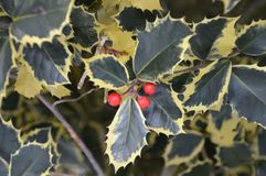 Close Up Of A Sorbus Aucaparia.  Stock Photos