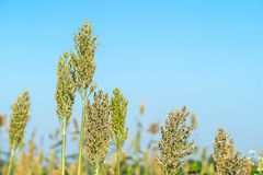 Close up Sorghum in field agent blue sky. Close up Sorghum or Millet an important cereal crop in field agent blue sky Stock Photography