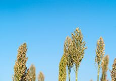Sorghum or Millet agent blue sky. Close up Sorghum or Millet an important cereal crop agent blue sky Stock Photos