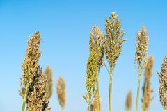 Sorghum or Millet agent blue sky. Close up Sorghum or Millet an important cereal crop agent blue sky Stock Photography