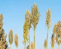 Sorghum or Millet agent blue sky. Close up Sorghum or Millet an important cereal crop agent blue sky Royalty Free Stock Photography