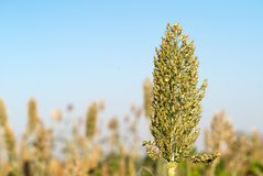 Sorghum or Millet agent blue sky. Close up Sorghum or Millet an important cereal crop agent blue sky royalty free stock photo