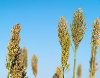 Sorghum or Millet agent blue sky. Close up Sorghum or Millet an important cereal crop agent blue sky Stock Images