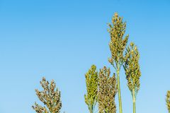 Close up Sorghum in field agent blue sky. Close up Sorghum or Millet an important cereal crop in field agent blue sky stock photos