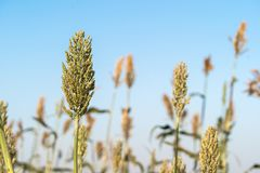 Sorghum in field agent blue sky. Close up Sorghum or Millet an important cereal crop in field agent blue sky Royalty Free Stock Photos