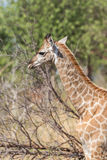 Close-up of South African giraffe in sunlight Royalty Free Stock Image