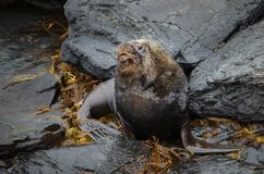 Close-up of a South American Sea Lion bull. Lying on the coastal area in Falkland islands Stock Photos