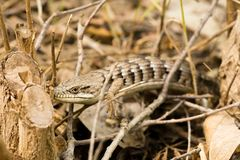 Southern Alligator Lizard. Close-up of a southern alligator lizard resting in foliage stock photos