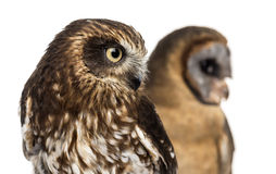 Close-up of a Southern boobook (Ninox boobook) and an Ashy-faced Royalty Free Stock Image