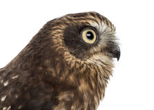 Close-up of Southern boobook (Ninox boobook) Royalty Free Stock Photography
