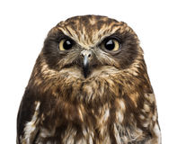 Close-up of a Southern boobook (Ninox boobook) Royalty Free Stock Photography