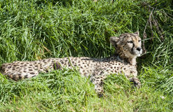 Close up of a Southern Cheetah Royalty Free Stock Photo