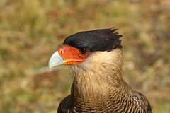 Close up of a southern crested caracara Stock Photo