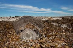 Close up of a Southern Elephant seal covered with seaweed. On a sandy beach in Falkland islands Stock Photography