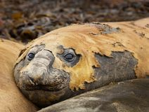 Close up of a Southern Elephant seal. Lying among other seals on a beach in Falkland islands Stock Images