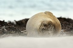 Close up of a Southern Elephant seal sleeping on a windy day Stock Photography