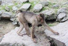 Southern pig-tailed macaque, Macaca nemestrina. Close up of southern pig-tailed macaque Stock Image