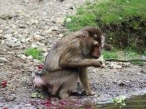 Southern pig-tailed macaque, Macaca nemestrina. Close up of southern pig-tailed macaque Stock Photo