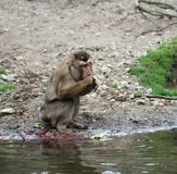 Southern pig-tailed macaque, Macaca nemestrina. Close up of southern pig-tailed macaque Stock Images