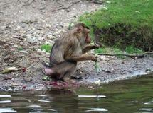 Southern pig-tailed macaque, Macaca nemestrina. Close up of southern pig-tailed macaque Royalty Free Stock Photo