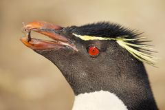 Close up of southern rockhopper penguin with nesting material stock images