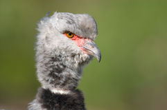 Close-up of a Southern Screamer Stock Images