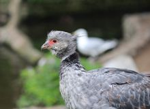 Southern screamer Royalty Free Stock Image
