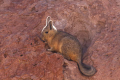 Close up of a southern viscacha Royalty Free Stock Image