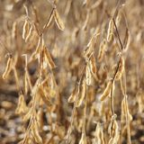 Close-up of soybean field. Royalty Free Stock Photography