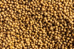 Close-up of soybeans. Small circular beans of beige color royalty free stock photo