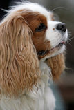 Close-up of a spaniel Royalty Free Stock Photography