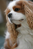 Close-up of a spaniel Stock Image