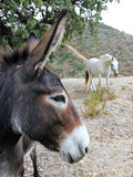 Close up of Spanish Donkey looking at white horse Stock Images