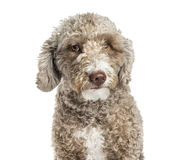 Close-up of a Spanish Water Dog, 1.5 years old Stock Photo
