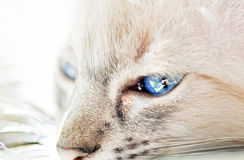 Close up sparkling blue eyes of white cat Stock Photos