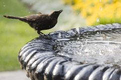 Close up of sparrow. Close up of a sparrow drinking and washing in at the fountain royalty free stock photography