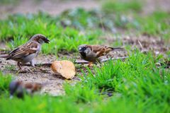 Sparrows on ground with green grass. Close up of sparrows on ground with green grass on sunny day Royalty Free Stock Photos