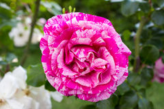 Close-up of  a species of a  climbing rose bicolour called Royalty Free Stock Photos