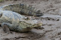 Close-up of a spectacled caiman in mud Stock Image