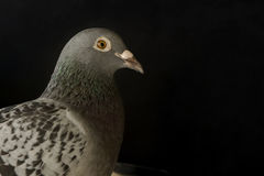 Close up speed racing pigeon bird on black Royalty Free Stock Images